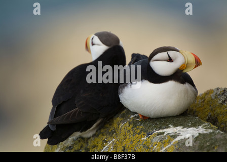 Horned Puffins Fratercula corniculata Round Island Alaska - Stock Photo