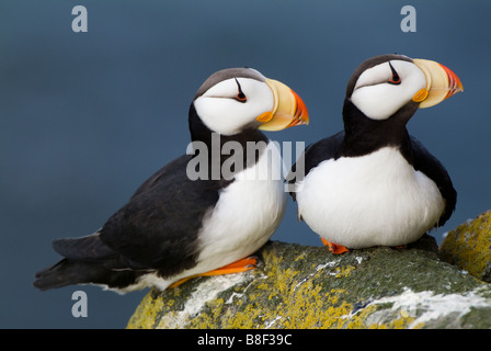Horned Puffin Fratercula corniculata Round Island Alaska - Stock Photo