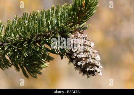 Rocky Mountain bristlecone pine (Pinus aristata) cone, Kenosha Pass, US Highway 285, Park County, Colorado. - Stock Photo