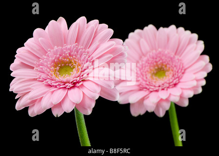 A pair of pale pink gerberas against a black background one in focus in front of the other - Stock Photo