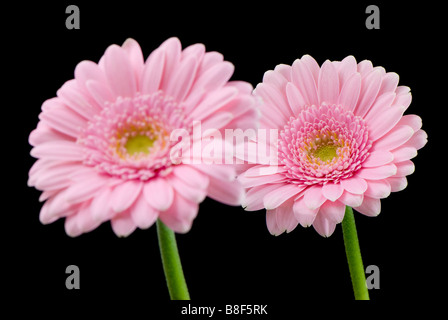 A pair of pale pink gerberas against a black background one in focus behind another - Stock Photo