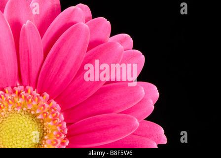 Hot pink Gerbera against black background - Stock Photo