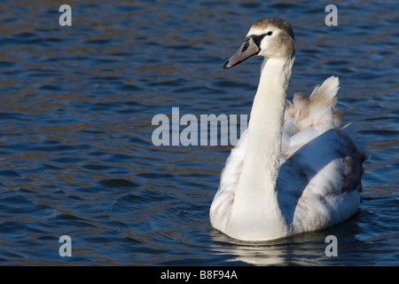 Juvenile Mute Swan gliding on the river in the winter sunshine - Stock Photo
