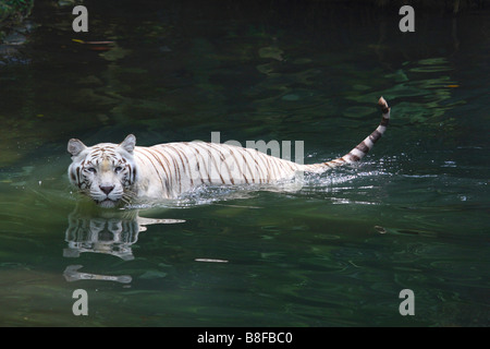 Bengal tiger (Panthera tigris tigris), white morph swimming - Stock Photo