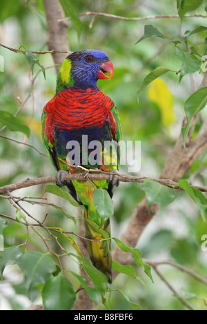 rainbow lory (Trichoglossus haematodus), sitting on a twig in a tree - Stock Photo