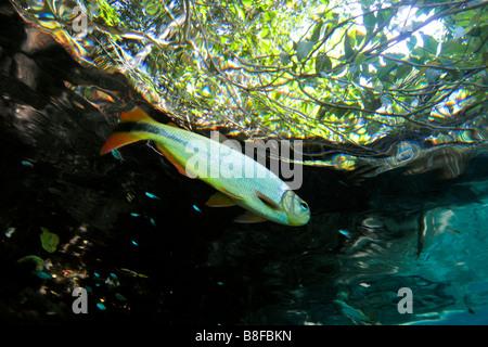 Characins or piraputangas, Brycon hilarii, at Prata river, Bonito, Mato Grosso do Sul, Brazil - Stock Photo