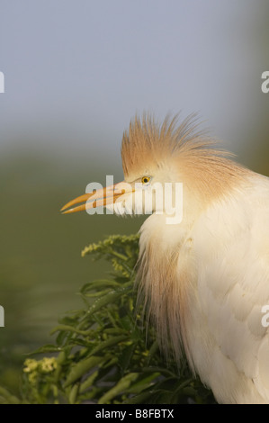 Cattle egret (Bubulcus ibis) portrait taken in Gatorland, Florida, USA - Stock Photo