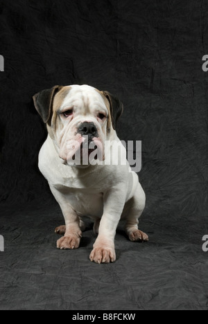 British bulldog looking sad in studio background - Stock Photo