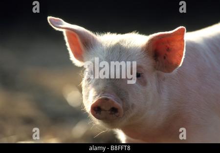 Domestic Pig (Sus scrofa domestica), piglet, portrait - Stock Photo