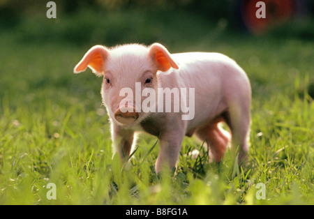 Domestic Pig (Sus scrofa domestica), piglet standing on grass - Stock Photo