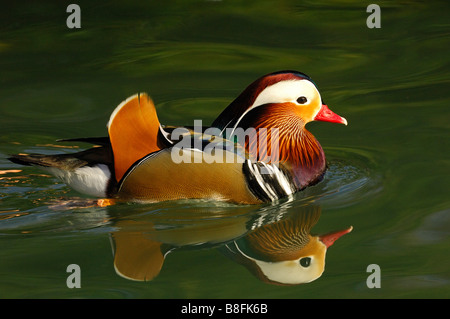 Male Mandarin Duck mirorred in the water surface Aix galericulata - Stock Photo