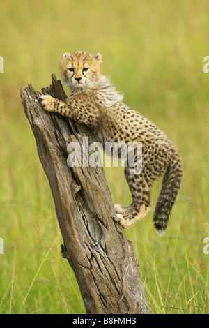 Cheetah cub climbing tree stump, Masai Mara, Kenya - Stock Photo