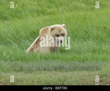 The Brown Bear (Ursus arctos) sits in the tall grass resting and the mid day sun. - Stock Photo