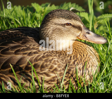 Close up of a duck. - Stock Photo