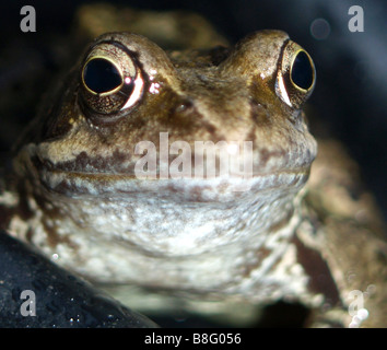 Extreme close up of common frog. - Stock Photo