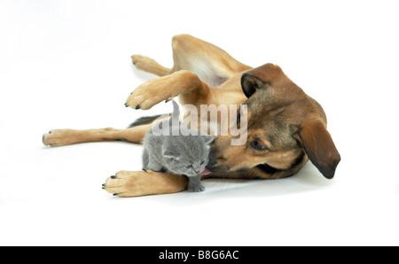 animal friendship : half breed dog and Carthusian kitten - Stock Photo