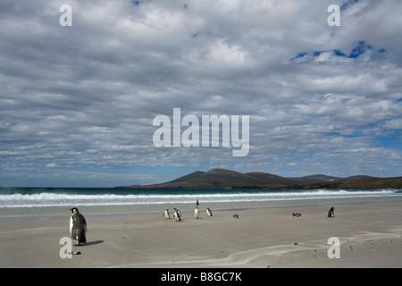King (Aptenodytes patagonicus) and Magellanic Penguins (Spheniscus magellanicus) on the beach in The Falkland Islands. - Stock Photo