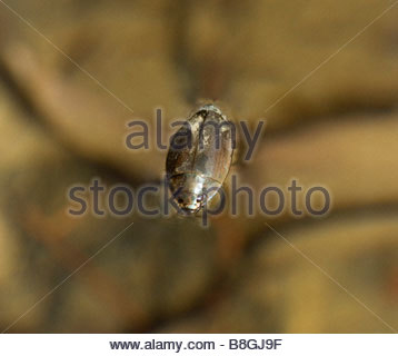 Whirligig Beetle Gyrinidae Dineutus sublineatus swimming - Stock Photo