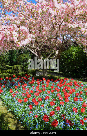 Flowering cherry tree and red tulips in spring - Stock Photo