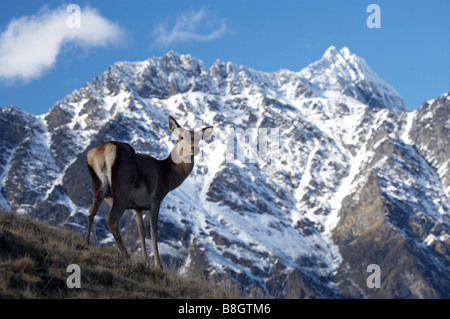 Red Deer Cervus elaphus and The Remarkables Deer Park Heights Queenstown South Island New Zealand - Stock Photo
