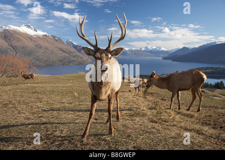 Red Deer Cervus elaphus Deer Park Heights Queenstown South Island New Zealand - Stock Photo
