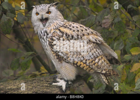 Siberian eagle owl / Bubo bubo sibiricus - Stock Photo