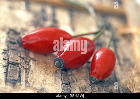 Dog Rose, Common Briar Rose (Rosa canina), rose hips, studio picture - Stock Photo