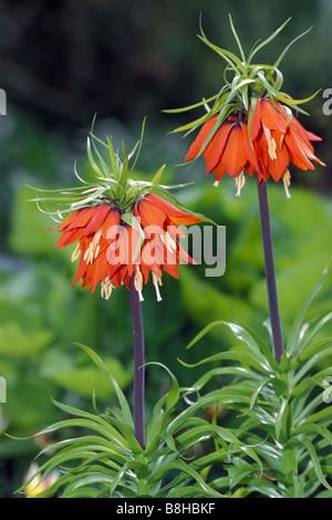 Crown Imperial (Fritillaria imperialis), variety: Rubra maxima, flowering - Stock Photo