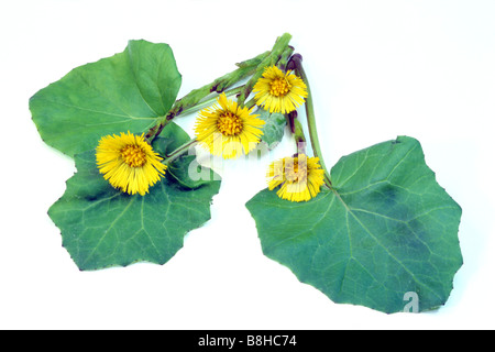 Coltsfoot (Tussilago farfara), flowers and leaves, studio picture - Stock Photo