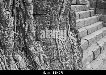 Roots of the Banyan tree taking hold at Champasak, southern Laos. - Stock Photo