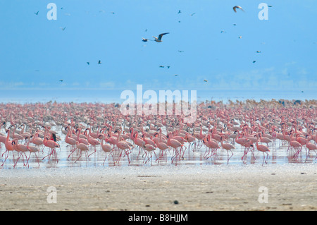 flocks of flamingo lake nakuru kenya - Stock Photo