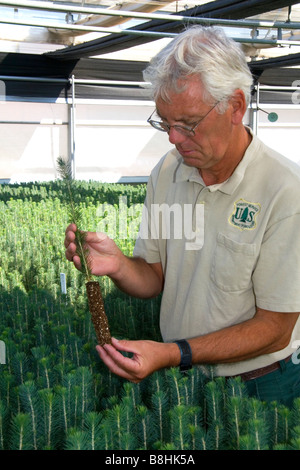 Forset Service Lucky Peak Nursery manager holding an englemann spruce seedling in a greenhouse near Boise Idaho - Stock Photo