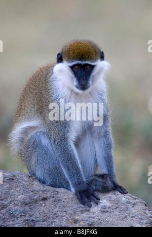 Vervet Monkey Chlorocebus pygerythrus Lake Awasa Ethiopia - Stock Photo