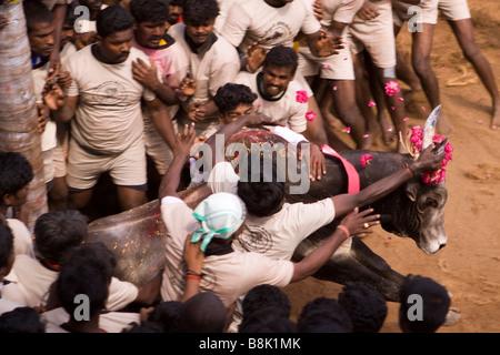 India Tamil Nadu Allanganallur Annual Pongal Jallikkattu bull fight competitors holding onto bull - Stock Photo