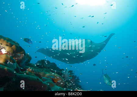 Manta ray approaching a colorful coral reef with school of glass fishes and reef fish sihouettes with the sun in - Stock Photo