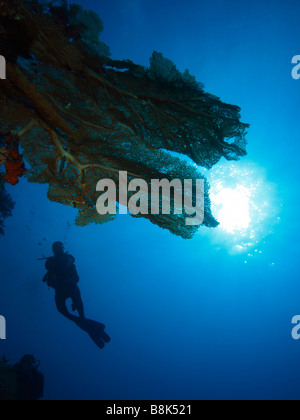 A silhouette of female diver underwater with giant gorgonia fans and blue water and sun rays in background - Stock Photo
