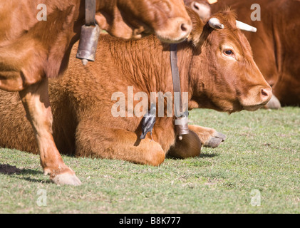 spotless starling catching insects whilst sat on head of cow tarifa anderlusia spain - Stock Photo