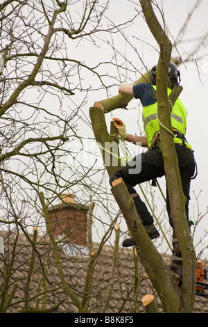 Tree surgeon at work climbing tree and chopping off branches at a domestic property with safety harness and ropes - Stock Photo