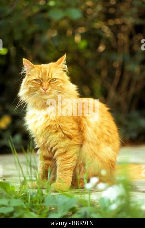 Domestic Cat, Red-tabby Longhair Persian Cat (Felis catus, Felis silvestris) sitting on terrace Stock Photo