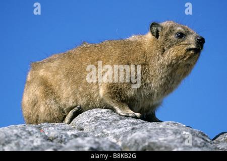 Rock Hydrax, Cape Hyrax (Procavia capensis) sitting on rock - Stock Photo