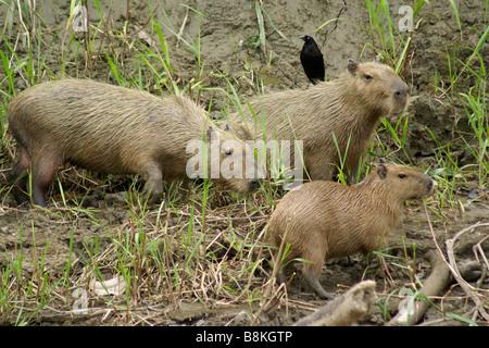 Family of capybaras on bank of Lower Madre de Dios River, Manu National Park, Peru - Stock Photo