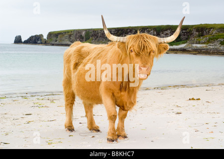 A purebred Highland cow at the bay and white sandy beach at Traigh nam Feannag, near Inver on the Isle of Jura, - Stock Photo