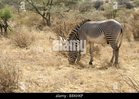 Grevy's zebra grazing, Samburu, Kenya - Stock Photo
