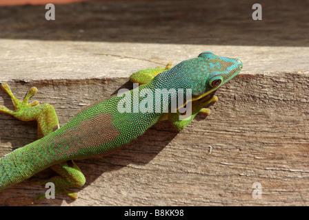 Lined Day Gecko (Phelsuma lineata lineata) on wall in Andasibe, Madagascar. - Stock Photo