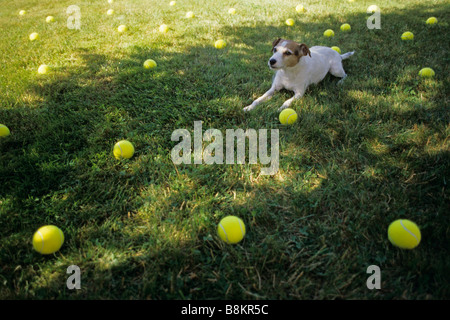 Jack Russell Terrier Parson Jack Russell Terrier in back yard on a sunny day in the shade playing - Stock Photo