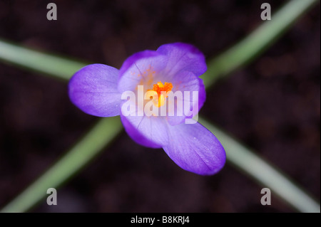 Crocus 'Queen of the blues' flower abstract from above - Stock Photo