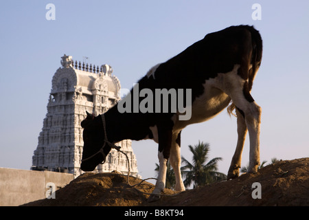 India Tamil Nadu Tiruvannamalai holy cow foraging on waste heap near Arunachaleswar temple - Stock Photo