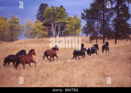 A Herd of Free Roaming Wild Horses running on Ranchland at a Ranch near Merritt, BC, British Columbia, Canada