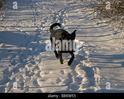black dog Labrador hybrid is running on a way in snow - Stock Photo