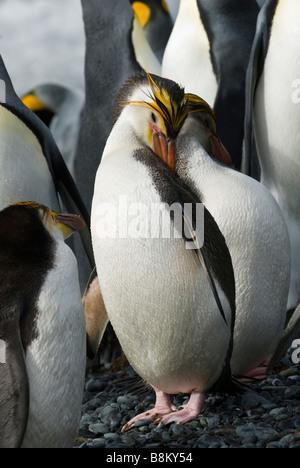 Royal penguin on the beach, Sandy Bay, Macquarie Island, Australia. - Stock Photo